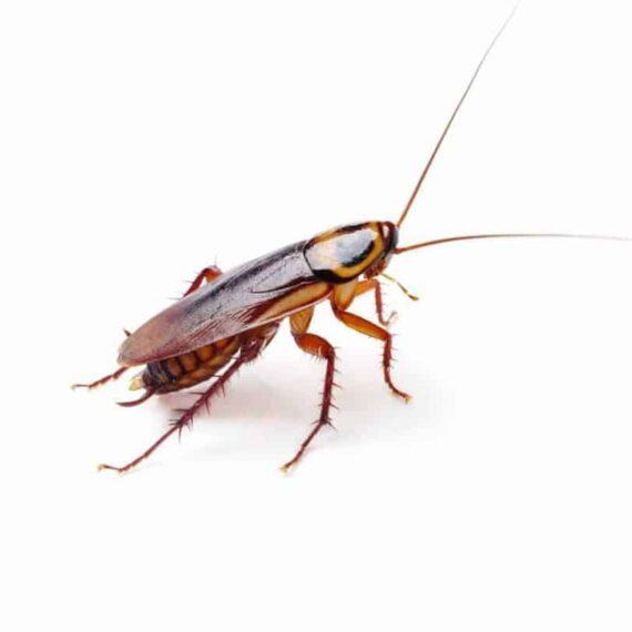 Κατσαρίδα Γερμανική