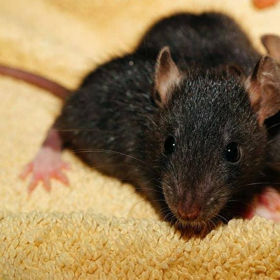 Μυοκτονία – Ποντίκια