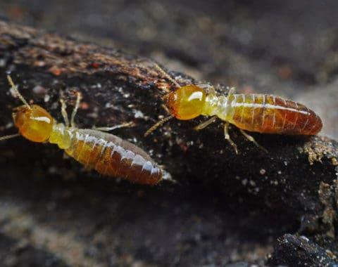 Dampwood Τερμίτες